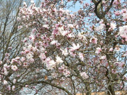 Dogwood Blossom Tree