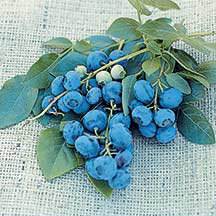 blueberries from jung