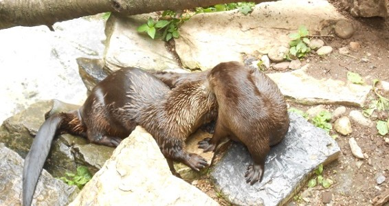 River Otters at ZooAmerica