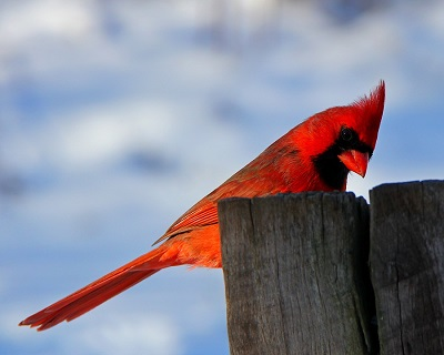 Cardinal in Winter Weather