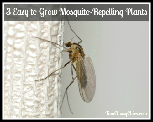 3 Easy to Grow Mosquito-Repelling Plants