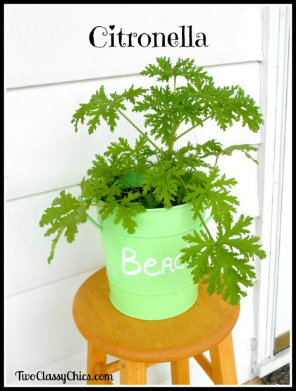 3 Easy to Grow Mosquito-Repelling Plants - Citronella Plant