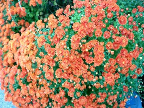 Gardening - Orange Fall Mums