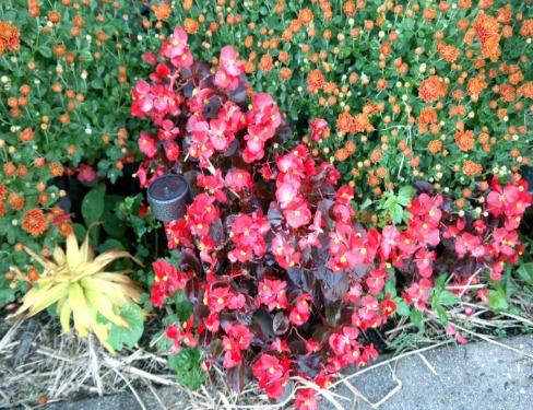 Gardening - Red Begonias