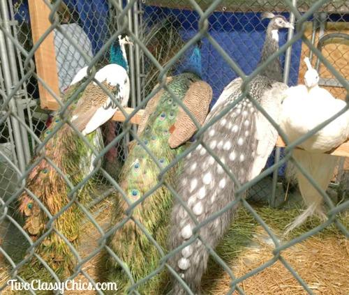 PA Farm Show - Peacocks